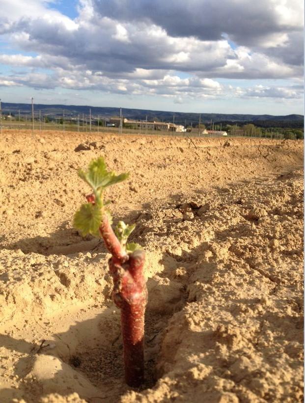 Jeune plant de vigne