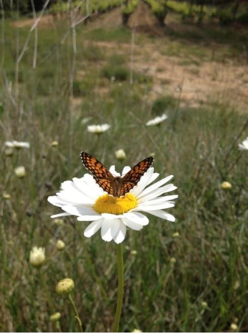 Papillon sur une margueritte sauvage